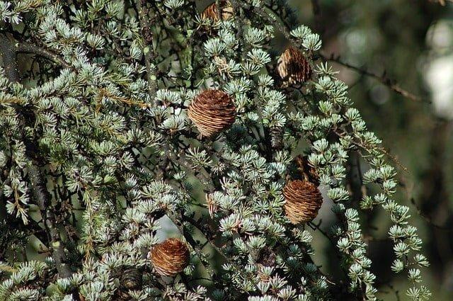 Himalayan Cedar trees