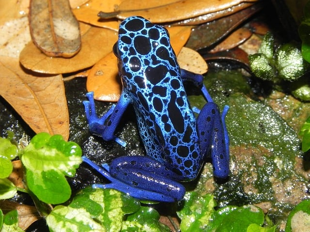 Dart frog of tropical rainforest biome