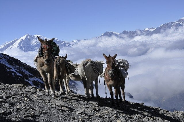 Donkeys in the Himalayas