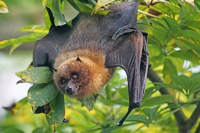 Flying fox in tropical rainforest