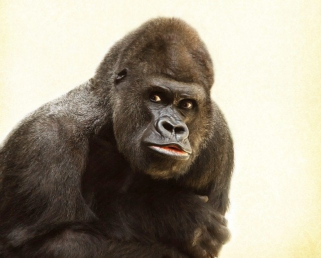 Gorilla of tropical biome
