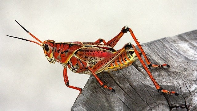 Grasshopper of rainforest