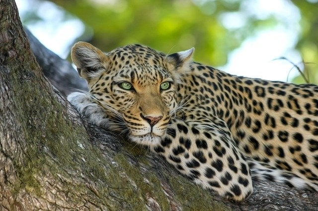 Leopards in tropical forests