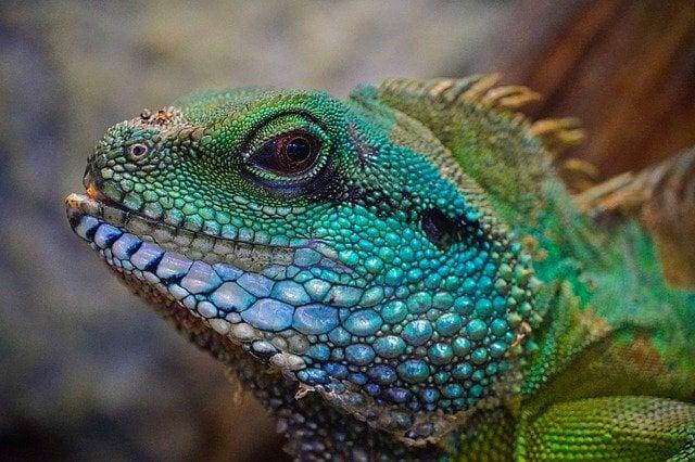 Lizard of rainforest