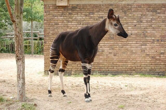 Okapi in tropical rain forest