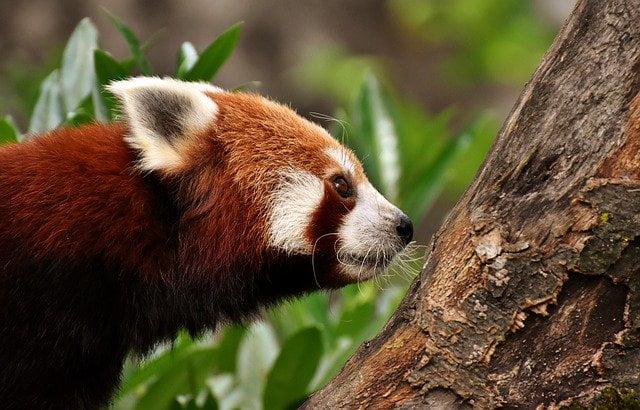 Red panda of Himalaya
