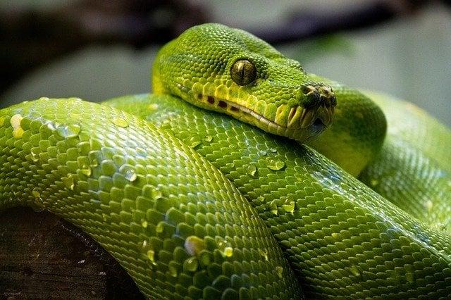 Python of tropical rainforest