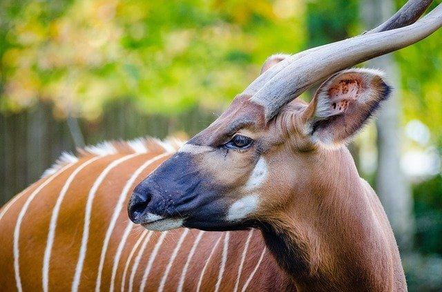 Mountain himalaya stag