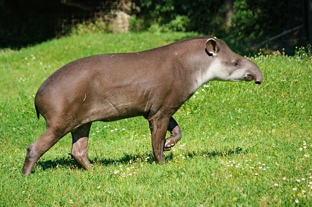 Tapir of tropical forest