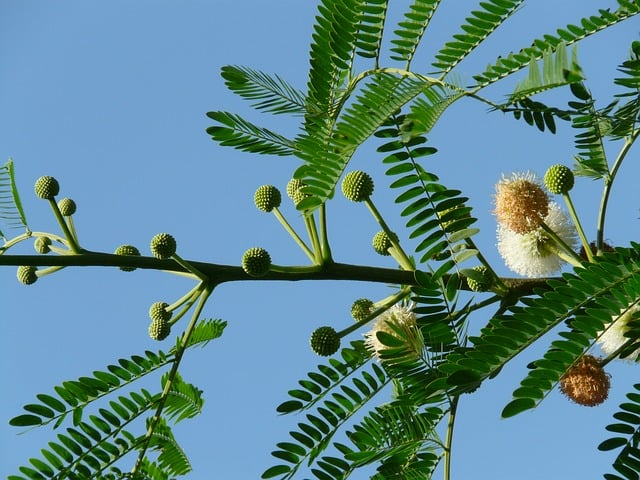 Acacia flower of deciduous forests