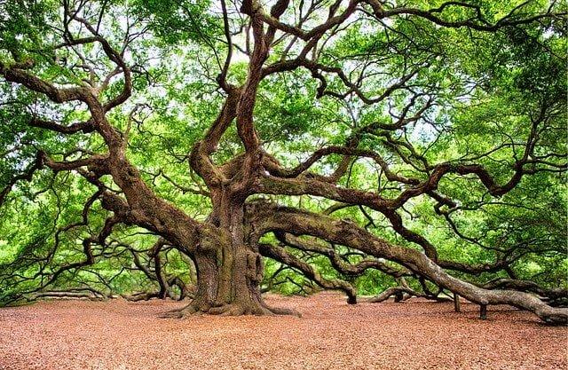Oak trees of Himalayan region