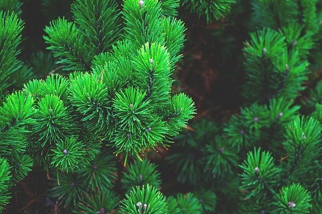 Pine trees in Himalayas