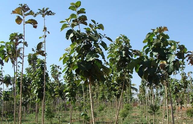 teak plantation