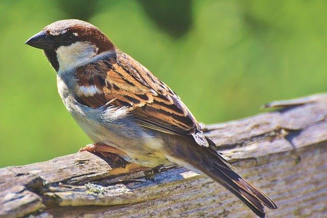 state bird of bihar- sparrow